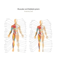 Male and female muscle and bony system charts with vector