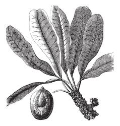 Bassia vintage engraving vector image vector image