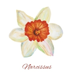 Narcissus watercolor painting on white background vector