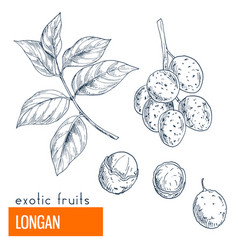 longan hand drawn vector image