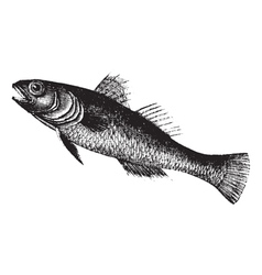 Black goby vintage engraving vector