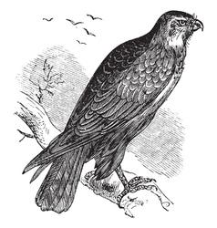 Common buzzard raptor engraving vector