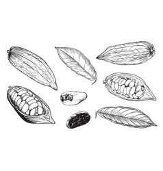 Isolated cocoa beans on white background vector