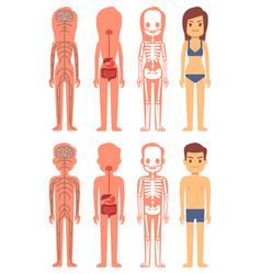 male and female skeleton digestive and nervous vector image vector image