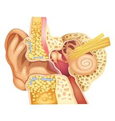 Inner ear vector image