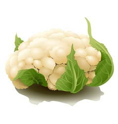 Cauliflower isolated vector