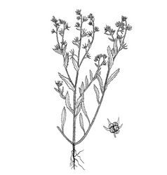 Lycopsis arvensis botanical hand drawn pictures vector