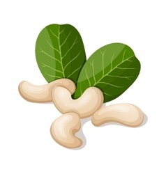 Cashews with leafs isolated on white vector image vector image