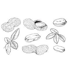 Peanut on white background isolated nuts vector