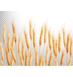 Field of golden wheat eps 10 vector
