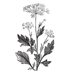Pimpinella vintage engraving vector image vector image