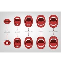 Baby first teeth chart vector