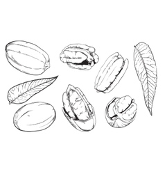 Pecan on white background isolated nuts vector