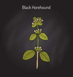 Black horehound ballota nigra medicinal plant vector