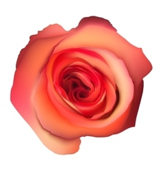 Orange rose flower isolated eps 10 vector