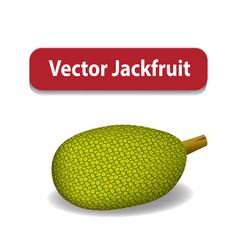 Raw green jackfruit isolated on white vector