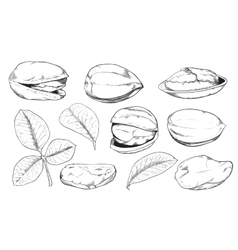 Pistachio on white background isolated nuts vector