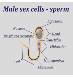 Diagram of the male sex cells - sperm vector