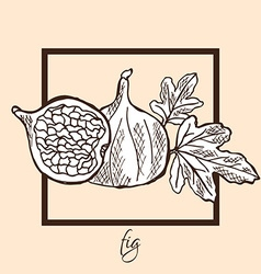 Hand drawn fig vector