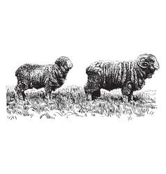 American merino sheep vintage vector