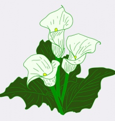 White callas vector