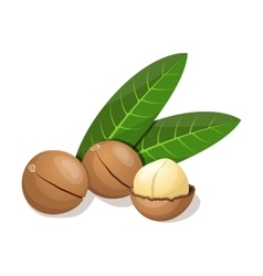 Macadamia with leafs isolated on white vector image