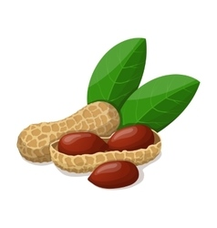 Peanuts with leafs isolated on white vector image