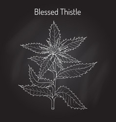 Blessed thistle cnicus benedictus  medicinal vector