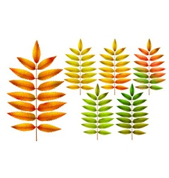 Colorful autumn rowan leaves vector