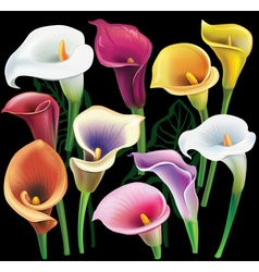 Calla flowers set in different colors vector
