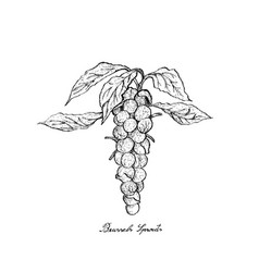 Hand drawn of brussels sprouts on white background vector