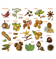 herbs set condiments and spices nutmeg and vector image