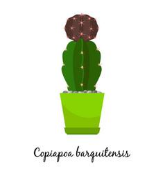 Copiapoa barquitensis cactus in pot vector