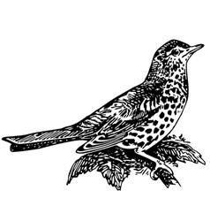 Bird mistle thrush vector