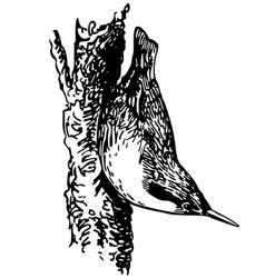 bird eurasian nuthatch vector image