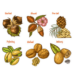 Herbs condiments and spices almond and walnut vector
