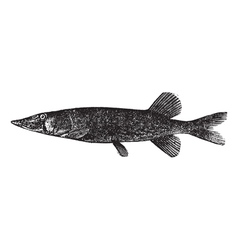 pickerel Esox engraving vector image vector image
