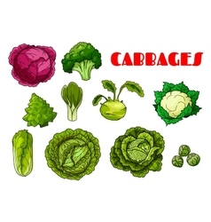 Vegetable cabbage isolated icons vector