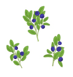 Set blueberry twigs with berries vector