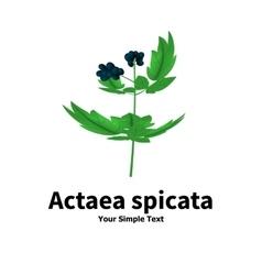 Plant with poisonous berries actaea spicata vector