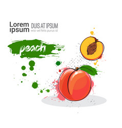 Peach hand drawn watercolor fruit on white vector