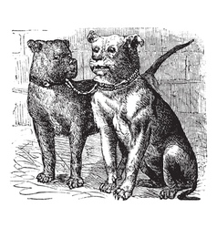Bulldog vintage engraving vector image