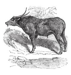 Water buffalo engraving vector image vector image