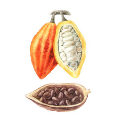 watercolor of cocoa beans vector image