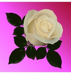 picture of white roses on a pink background vector image