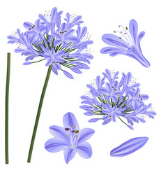 blue purple agapanthus - lily of the nile african vector image