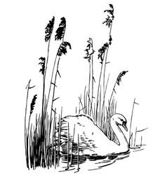 bird mute swan vector image