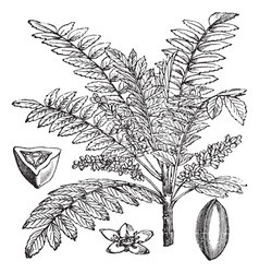 Indian frankincense vintage engraving vector