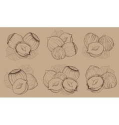 Hazelnut on white background isolated nuts vector