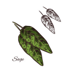 Sage seasoning plant sketch plant icon vector